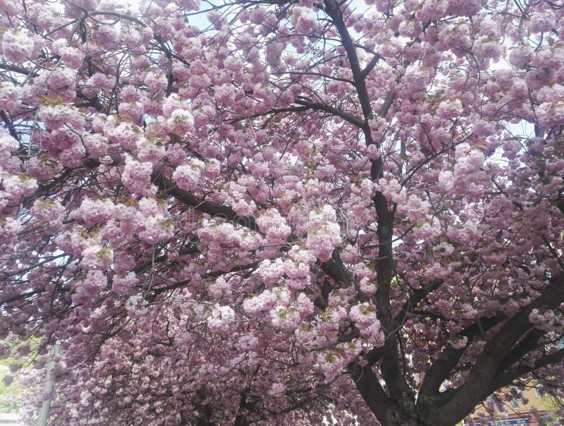 Bei fiori rosa in ciliegio, sbocciante in primavera fotografia stock libera da diritti