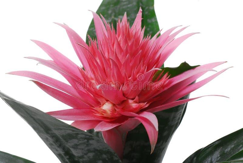 Bei fiori rosa coperti di spine con la foglia verde fotografia stock libera da diritti