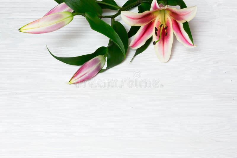 Bei fiori rosa del giglio bianco su fondo di legno, con spazio per testo immagini stock
