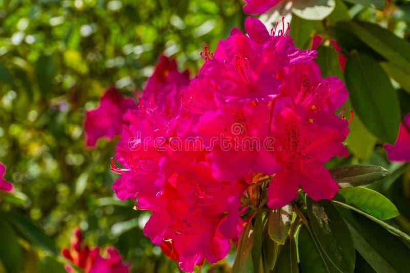 Bei fiori rosa del rododendro in macro primo piano, cespuglio di fioritura coltivato, pianta ornamentale popolare per il giardino fotografia stock libera da diritti