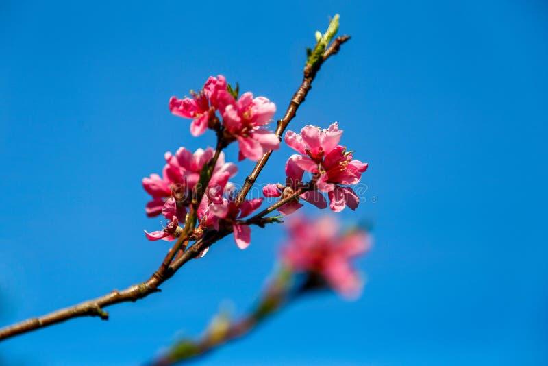Bei fiori rosa dell'albero della molla fotografia stock