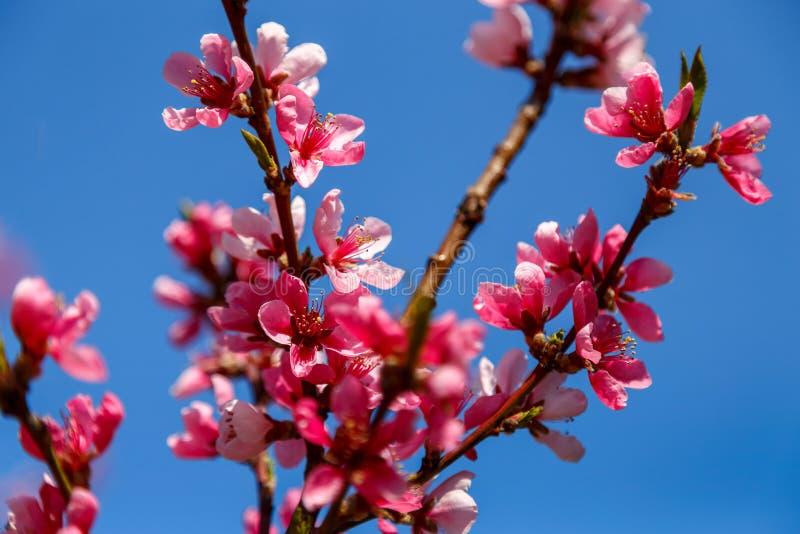 Bei fiori rosa dell'albero della molla immagini stock