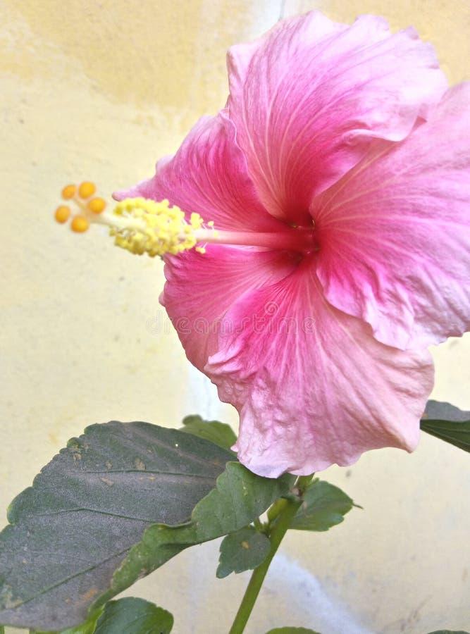 Bei fiori rosa dell'ibisco fotografia stock libera da diritti