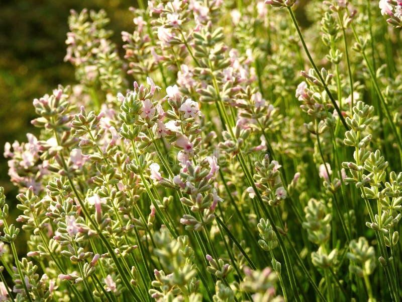Bei fiori rosa della lavanda in parco, Lituania fotografia stock libera da diritti