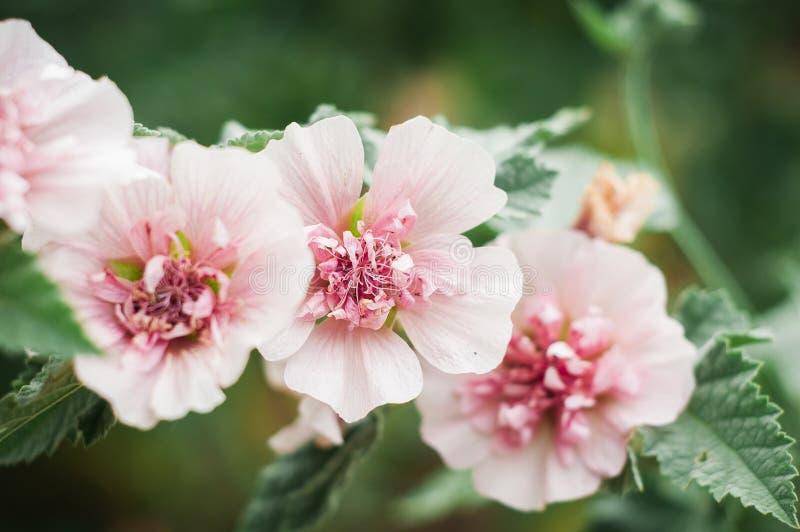 Bei fiori rosa della malva nel giardino botanico immagine stock