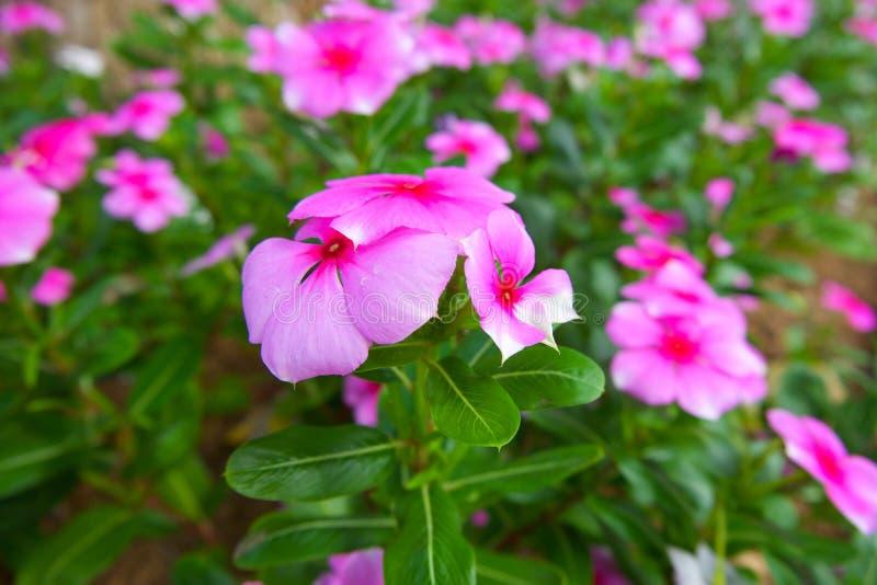 Bei fiori rosa della vinca Vinca del capo, vinca del Madagascar, catharanthus roseus indiano ad ovest L della vinca G indossi I fotografia stock