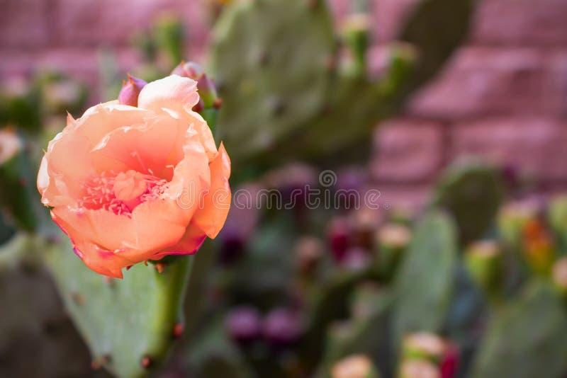 Bei fiori rosa di un cactus coperto di spine fotografia stock