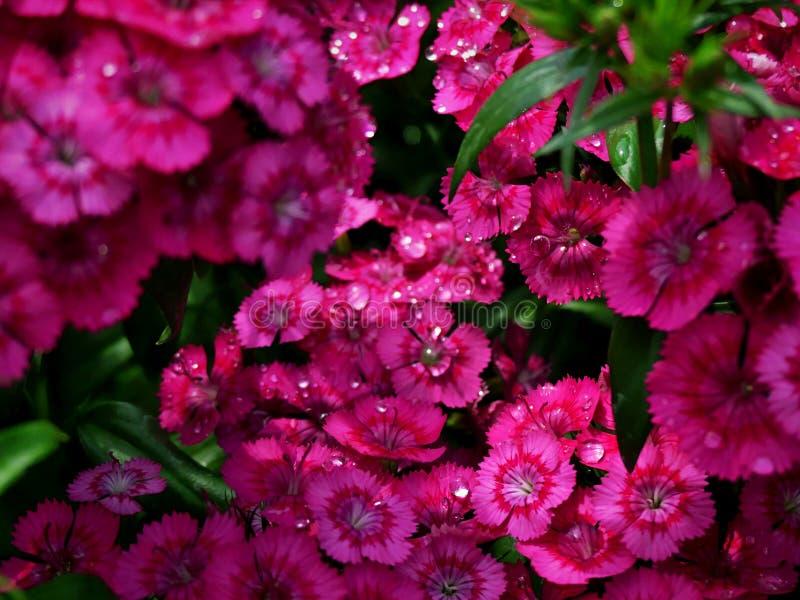 Bei fiori rosa dopo piovosità fotografie stock libere da diritti