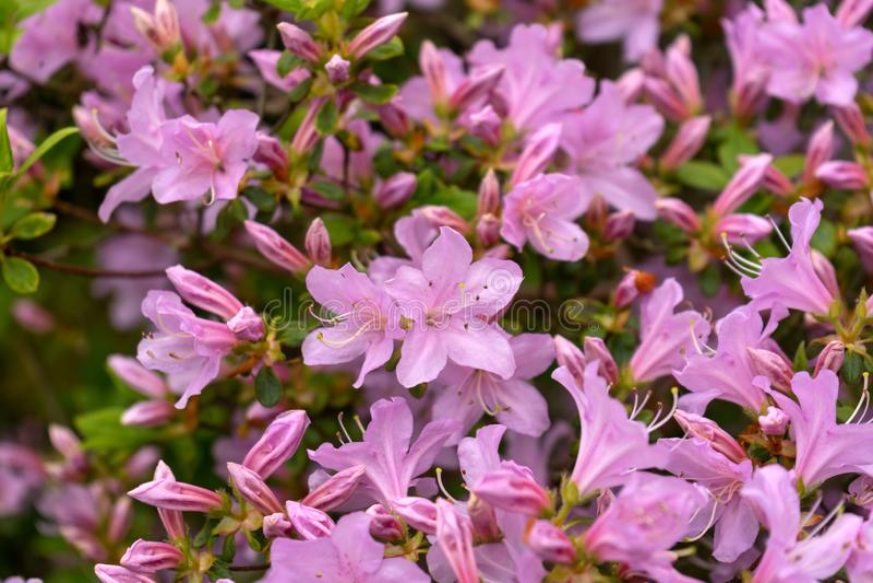Bei fiori rosa giapponesi dell'azalea nel giardino denso del boschetto immagini stock libere da diritti
