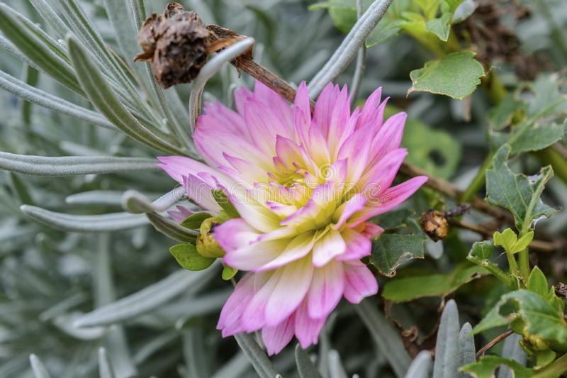 Bei fiori rosa nel giardino con le foglie verdi immagini stock