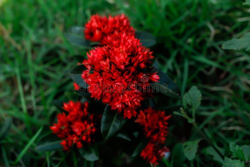 Bei fiori rossi in Surat Thani verde Tailandia fotografia stock