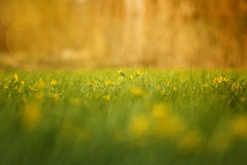 Bei fiori solari nel campo fotografie stock