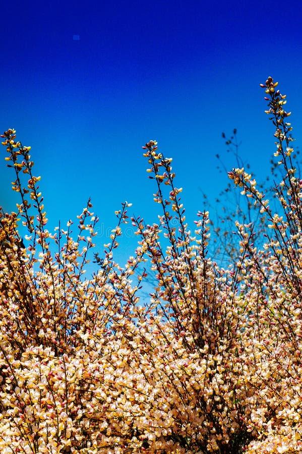 Bei fiori sull'albero in primavera di esposizione fotografia stock