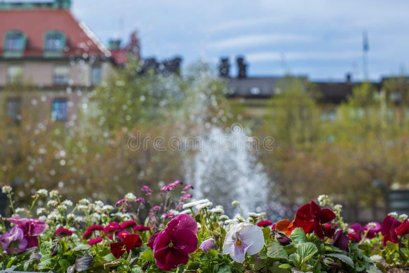 Bei fiori variopinti di viole del pensiero in una festa dei lavoratori della molla a Stoccolma davanti ad una fontana fotografia stock libera da diritti