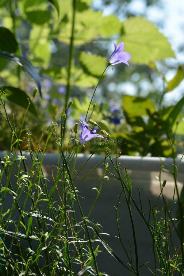Bei fiori viola del bellflower su sfondo naturale vago Inverdimento del balcone fotografie stock libere da diritti