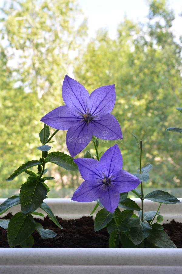 Bei fiori viola del grandiflorus di Platycodon Piante in vaso di fioritura nell'inverdimento del giardino urbano piccolo sul balc immagini stock libere da diritti