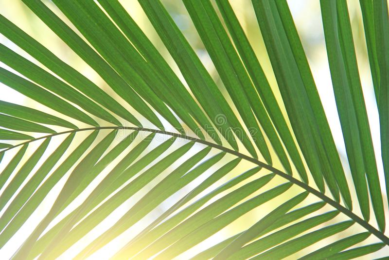 Bei foglia di palma e sole verdi Fondo verde della palma immagini stock