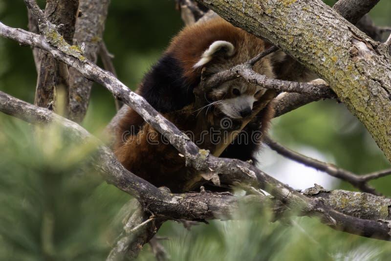 Bei fulgens del Ailurus del panda minore fotografia stock