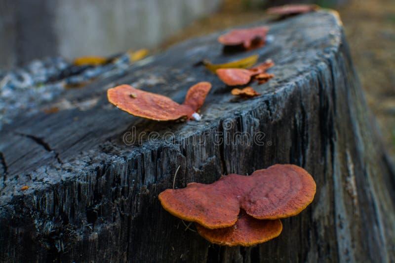 Bei funghi o funghi arancio che crescono sul tronco dell'albero tagliato in Argentina del Nord immagini stock libere da diritti