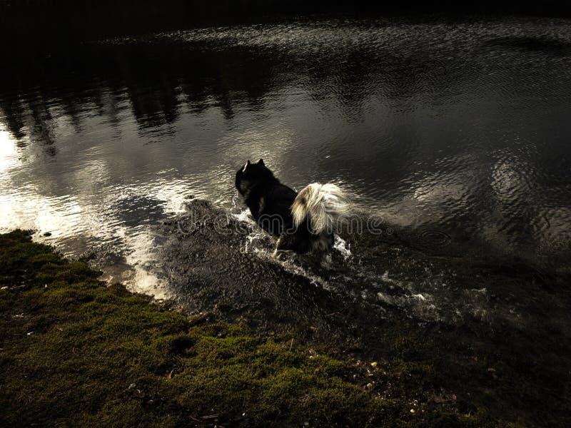 Bei funzionamenti sibirian del husky in acqua riflettente croccante fotografia stock