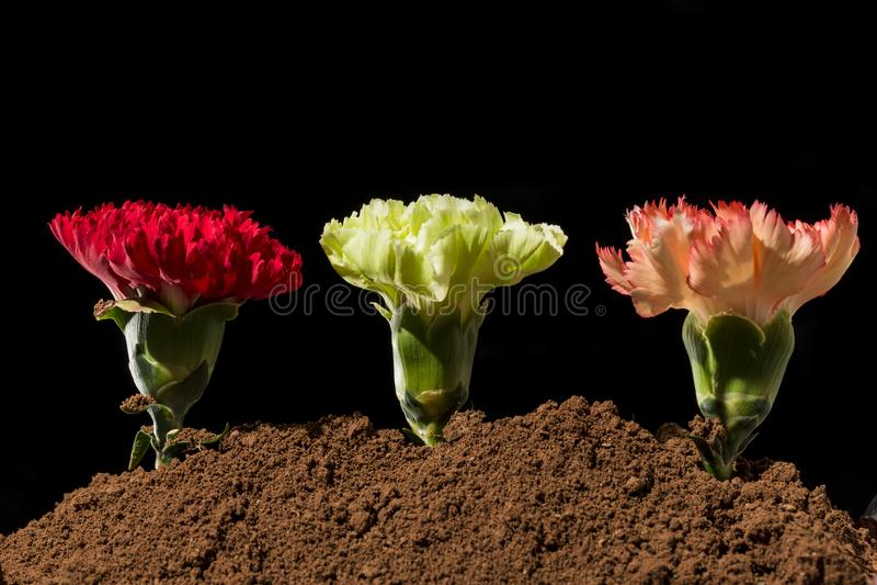 Bei garofani in fioritura fotografia stock libera da diritti