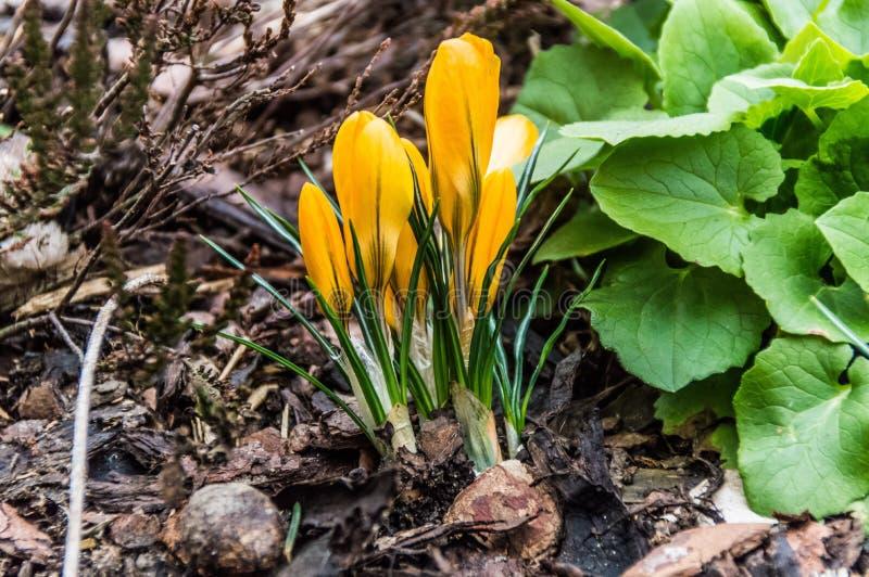 Bei germogli gialli che crescono dal suolo immagine stock