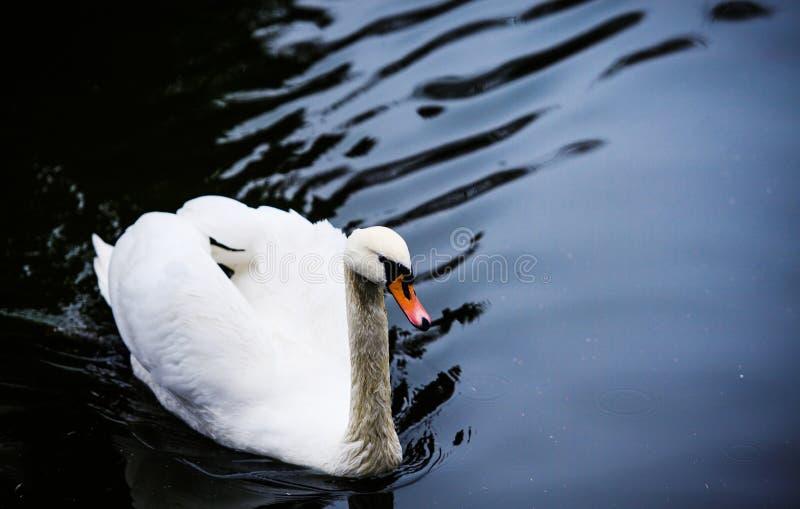 Bei giovani cigni in lago fotografia stock libera da diritti