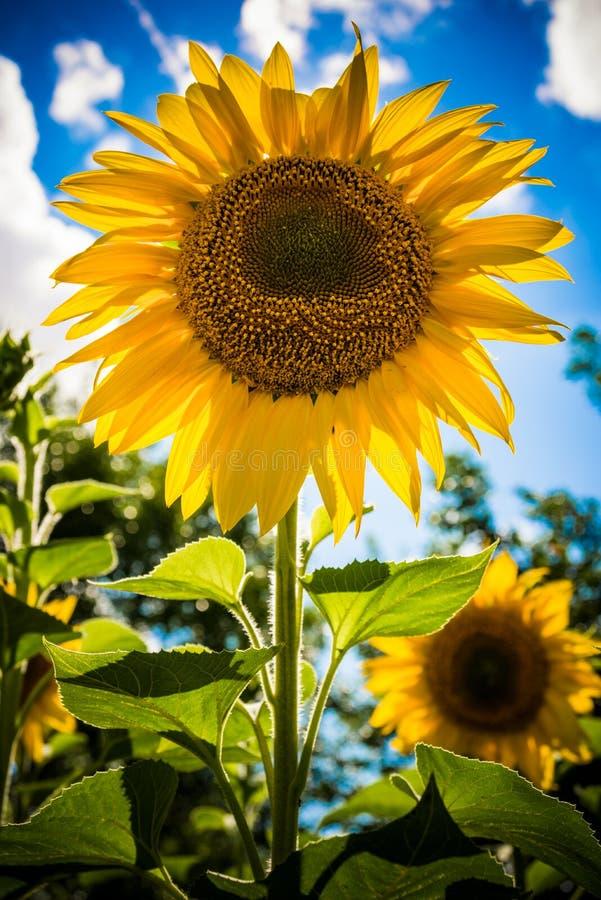 Bei girasoli gialli nel giorno di estate immagine stock