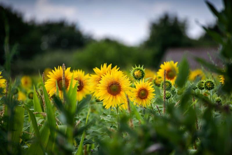 Bei girasoli gialli nel giorno di estate immagini stock