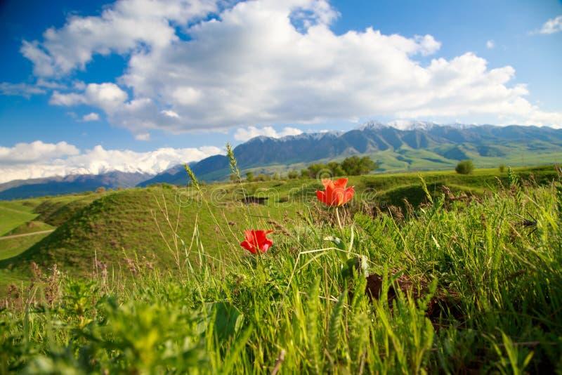 Bei molla e paesaggio di estate Colline verdi fertili, alte montagne Erbe di fioritura della primavera Tulipani selvatici della m fotografie stock libere da diritti