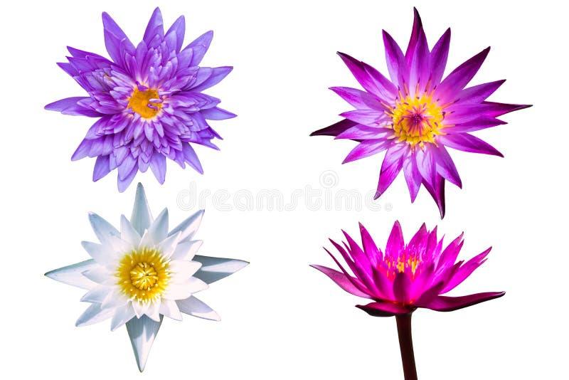 Bei molti isolato porpora della ninfea del fiore di loto su fondo bianco immagini stock libere da diritti