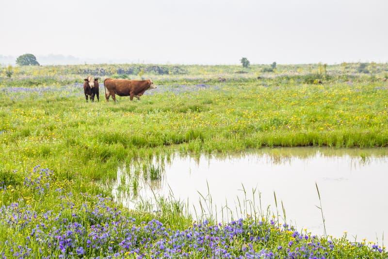 Bei paesaggi rurali del prato e del pascolo di fioritura della molla con due mucche marroni nei paesaggi di una campagna fotografie stock