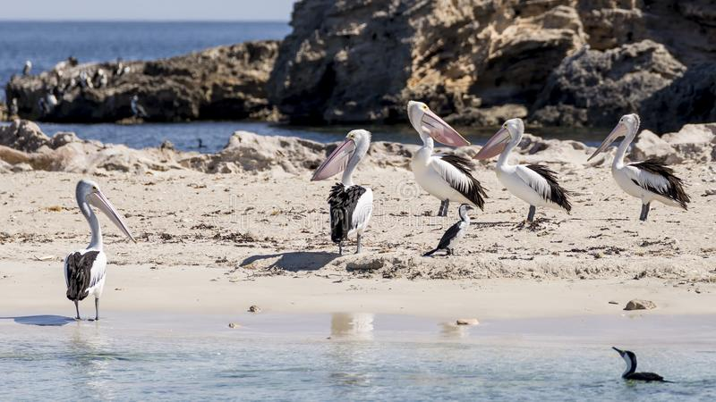 Bei pellicani e cormorani sulla spiaggia dell'isola del pinguino, Rockingham, Australia occidentale fotografie stock libere da diritti