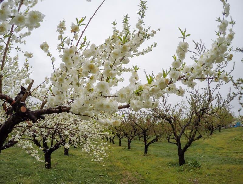 Bei peschi di fioritura a Hanamomo nessun Sato, Iizaka Onsen, Fukushima, Giappone immagine stock