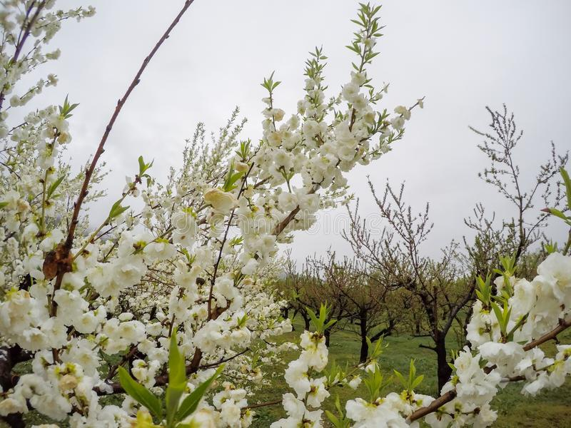 Bei peschi di fioritura a Hanamomo nessun Sato, Iizaka Onsen, Fukushima, Giappone fotografie stock