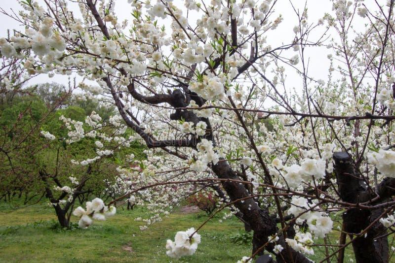 Bei peschi di fioritura a Hanamomo nessun Sato, Iizaka Onsen, Fukushima, Giappone fotografie stock libere da diritti