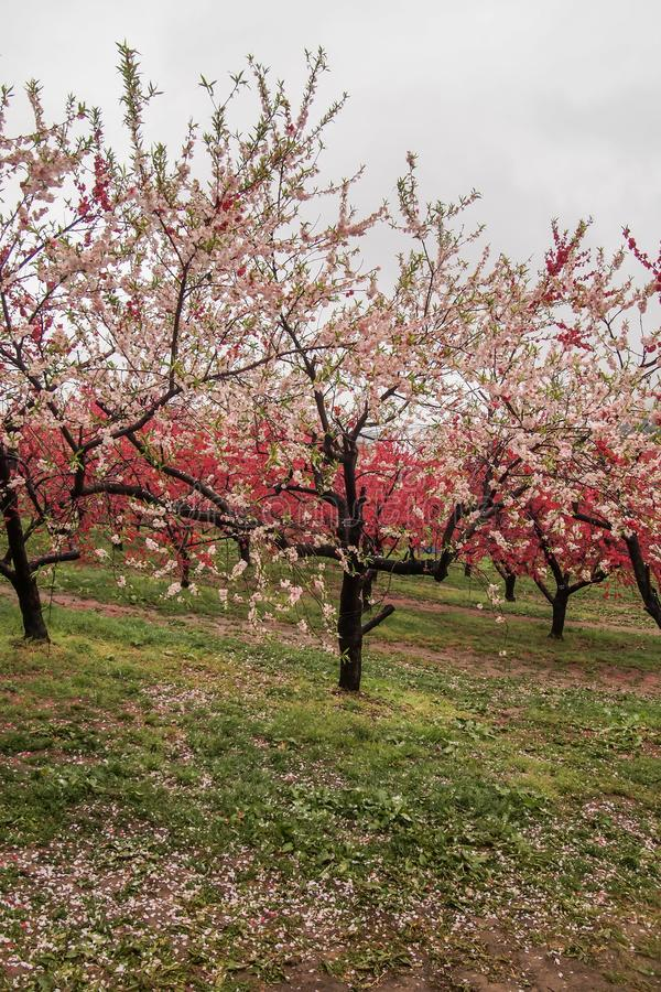 Bei peschi di fioritura a Hanamomo nessun Sato, Iizaka Onsen, Fukushima, Giappone fotografia stock