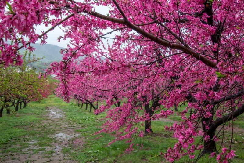 Bei peschi di fioritura a Hanamomo nessun Sato, Iizaka Onsen, Fukushima, Giappone immagine stock libera da diritti