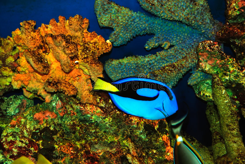 Bello pesce blu immagine stock