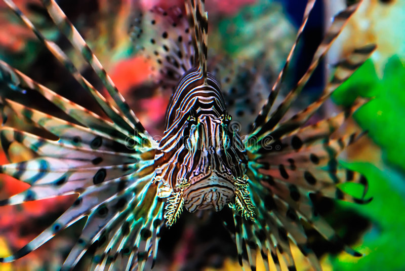 Bello pesce del leone fotografia stock libera da diritti
