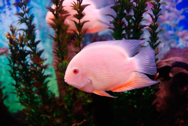 Bello pesce rosa fotografia stock libera da diritti