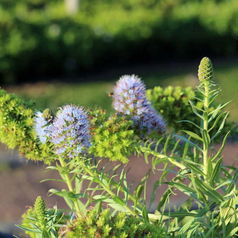 Bei piccoli fiori porpora fotografati in Madera, Portogallo immagine stock libera da diritti