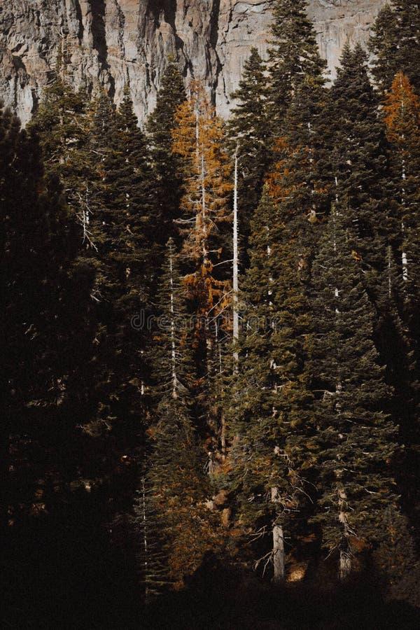 Bei pini alti in una foresta fotografie stock libere da diritti