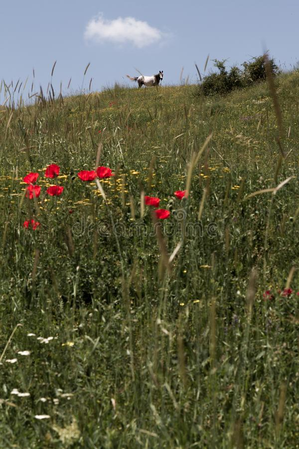 Bei Poppy Flowers e cavallo fra l'erba immagine stock
