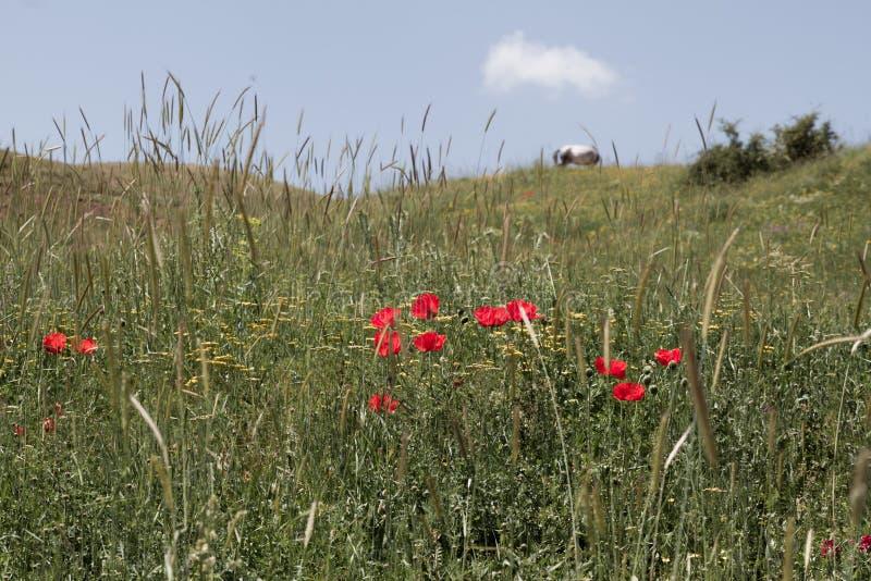 Bei Poppy Flowers e cavallo fra l'erba fotografie stock libere da diritti