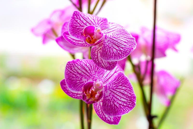 Bei rami con il rosa e fiori magenta dell'orchidea di phalaenopsis del lepidottero su fondo verde chiaro fotografia stock