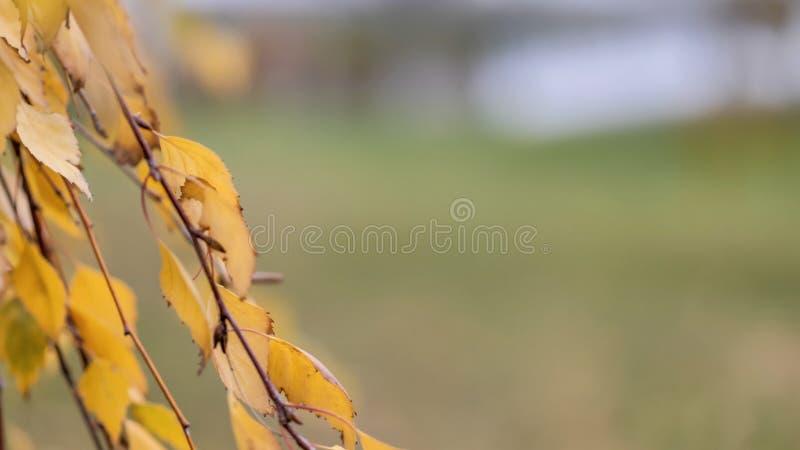 Bei rami naturali dell'albero della tremula con le foglie di autunno fotografia stock libera da diritti