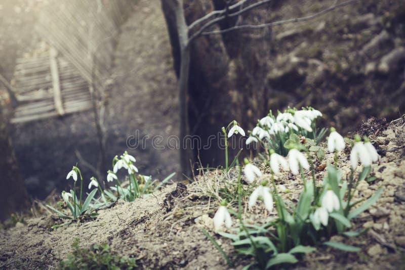 Bei snowdrops immagini stock