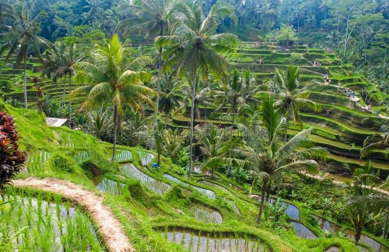 Bei terrazzi del riso di mattina al villaggio di Tegallalang, Ubud, Bali fotografia stock