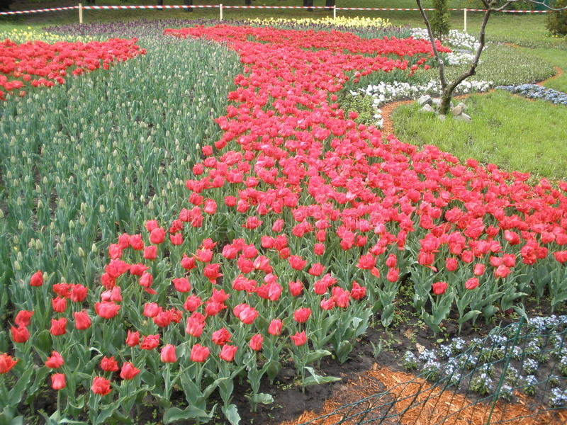 Bei tulipani fotografie stock libere da diritti
